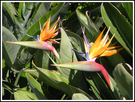Birds of Paradise, California