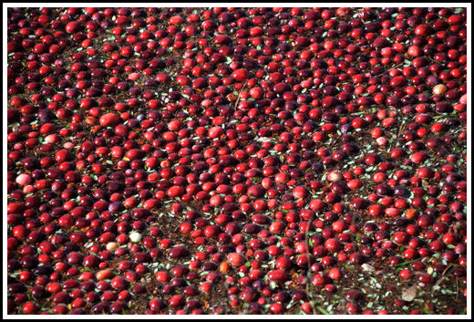 Cranberry Harvest, Massachusetts