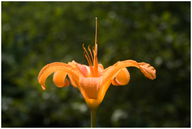 Good Morning, Tiger Lily, Massachusetts